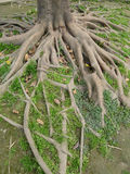 Tree roots. A big tree roots in soil Royalty Free Stock Images