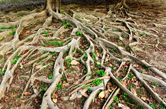 Tree roots Stock Photography
