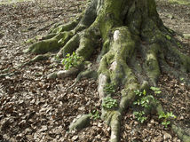 Tree roots Stock Photos