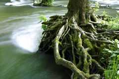 Tree-roots. Tree roots in wild water Stock Photography