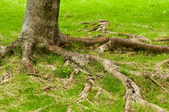 Tree roots. Details of above ground roots of a tree in the park royalty free stock photo