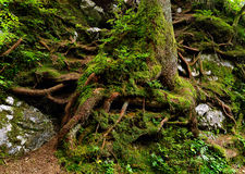Tree roots. Detail of tree roots in the mountains Stock Images