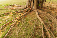 Tree roots. Details of above ground roots of a tree in the park stock photo