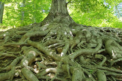 Tree roots. View of the huge old tree roots Royalty Free Stock Photography