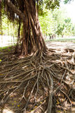 Tree roots. Royalty Free Stock Photo