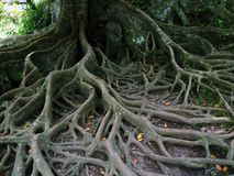 Tree roots. Network of tree roots closeup royalty free stock photos
