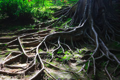 Tree roots. The tree roots spreading on the ground stock photo