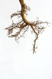 Tree roots. Healthy young tree roots growing Stock Photos