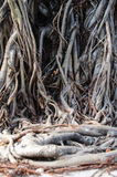 Tree roots. The long roots of trees Stock Images