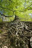 Tree roots. Details of above ground roots of a nearby beech tree in the forest royalty free stock photos
