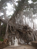 Tree roots. Small white shrine in front of banyan tree roots Royalty Free Stock Image