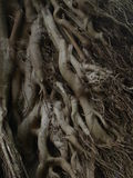 Tree roots. (taken in Kenya near Mount Kenya Stock Photos