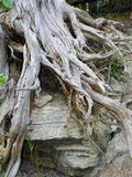 Tree roots along an eroded section of shoreline on Lake Ontario. Dead tree roots intertwine with rocky shoreline where the soil has long ago been eroded away Royalty Free Stock Images