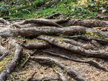 Tree roots along a forest trail Stock Photos