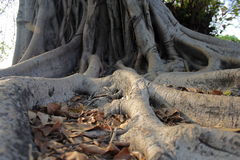 Tree. Roots Areas lax spreading Stock Images