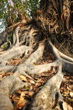 Tree. Roots Areas lax spreading Royalty Free Stock Photos
