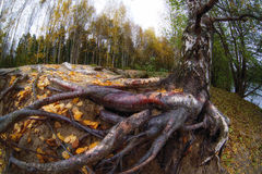 Tree roots and autumn forest. Fall woods. Stock Image