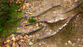 Tree roots and autumn forest. Fall woods. Royalty Free Stock Images