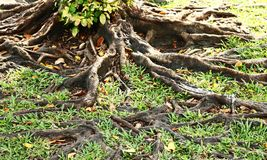 Tree roots in autumn Stock Images