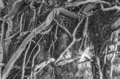 Tree roots in B/W royalty free stock images