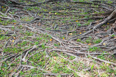 Tree roots background Stock Photo