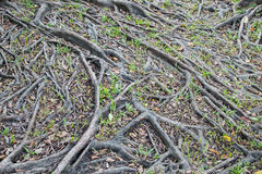 Tree roots background Royalty Free Stock Photos