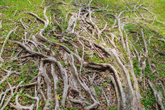 Tree roots background royalty free stock photo