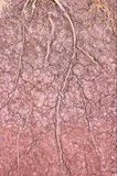 Tree roots background cracked soil drought. Royalty Free Stock Images