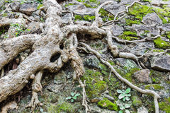 Tree roots background Royalty Free Stock Image