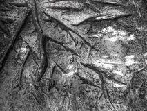 Tree roots background Stock Photography