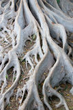 Tree Roots at Balboa Park. White tree roots from the trees found in Balboa Park, San Diego stock photos