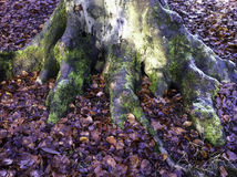 Tree roots. Roots at base of tree in winter with fallen autumn leaves around Stock Photos