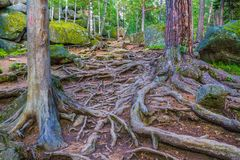 Tree roots and big stones. Amazing tree roots and big stones. Nice sunny day in The Pillars Stolby Nature Sanctuary Royalty Free Stock Photo