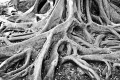 Tree roots. Black and white image of tree roots Royalty Free Stock Photos