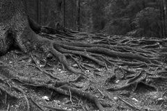 Tree roots. Black and white photo with old tree roots in winter season Stock Photography