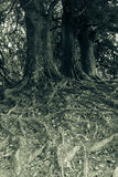 Tree roots, black and white photography. Spliting toning stock images