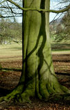 Tree and Roots, Chatsworth Park, , Peak District, Derbyshire,. Tree Textures, Chatsworth Park, Baslow, Derbyshire near Chatsworth House and river derwent Stock Image