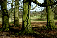 Tree and Roots, Chatsworth Park, , Peak District, Derbyshire,. Tree Textures, Chatsworth Park, Baslow, Derbyshire near Chatsworth House and river derwent Stock Photography