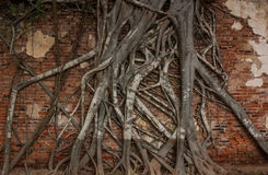 Tree roots cling on the red brick wall. Royalty Free Stock Photos