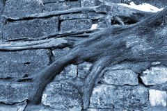 Tree roots cling to stone stairs in wintertime.  Royalty Free Stock Photography