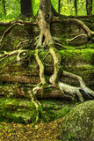 Tree Roots. Clinging to  large boulder coverd in moss and lichens Stock Images