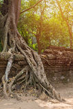tree roots cover a historic Khmer temple in  Angkor Wat, Cambodi Royalty Free Stock Photos