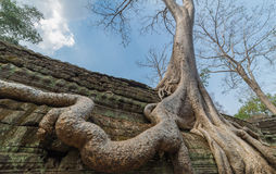 tree roots cover a historic Khmer temple in  Angkor Wat, Cambodi Stock Photos