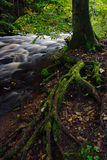 Tree roots covered moss. Tree roots covered green moss and river flowing among in a forest Royalty Free Stock Images