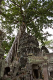 Tree roots covering remains of Ta Phrom Stock Images
