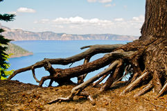 Tree Roots Crater Lake. An interesting tree with exposed roots with Crater Lake in the background Royalty Free Stock Image