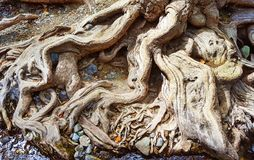 Roots of a Big Old Tree