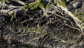 Tree roots by creek Royalty Free Stock Photos