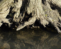 Tree roots by creek Stock Images