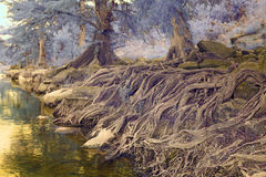 Tree roots by a creek Stock Photography